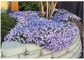 A Blanket of Rosemary Flowers